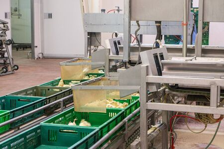 Belt conveyor for counting and sorting chicks. Conveyor line of agro-industrial hatchery. Unloading chicks into baskets. 版權商用圖片