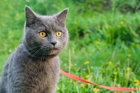 Young British blue shorthair cat in harness on a summer walk. Portrait of beautiful purebred gray cat.