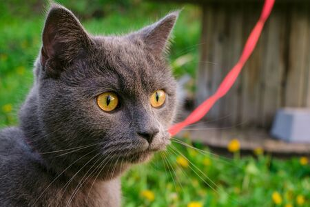 Face of purebred young British blue shorthair cat in harness. Portrait of gray cat.