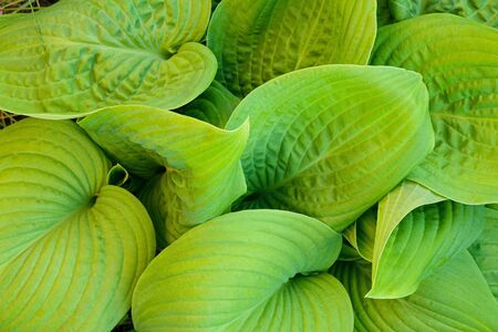 Hosta - an ornamental plant for landscaping park and garden design. Leaves of green Hosta.