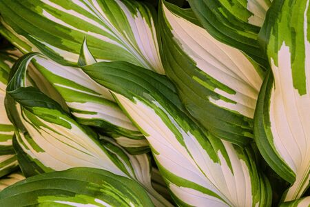 Leaves of green-white Hosta. Hosta - an ornamental plant for landscaping park and garden design. Banco de Imagens