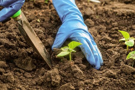 Gardener is planting pepper seedlings in open ground. Digging soil with a small garden shovel. Stockfoto