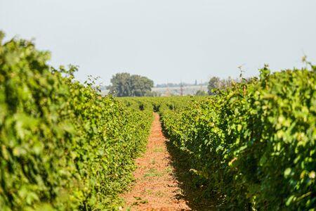 Passage in the rows of green vineyards. Grape vines field in summer. Krasnodar reggion, Russia. Limited depth of field.