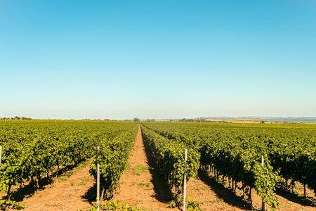 Rows of green vineyards. Grape vines field in summer. Krasnodar reggion, Russia.