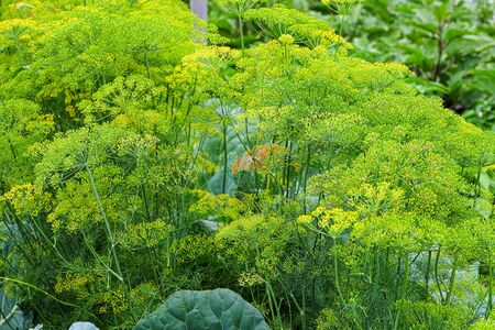 Umbrellas of ripe dill in garden. Agricultural background. Foto de archivo