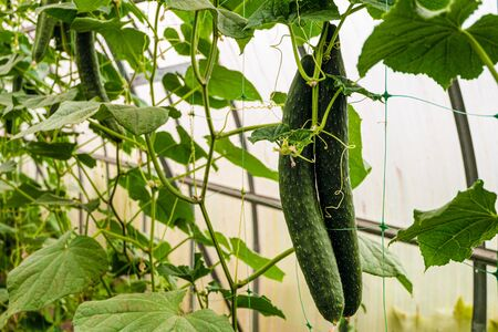 Chinese cucumber vegetables on a branch in greenhouse