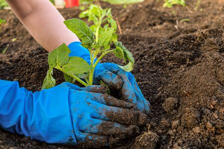 Gardener is planting tomato seedlings in open soil