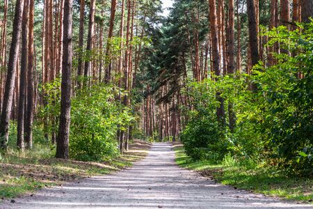 Direct path through pine forest at daylight. Belgorod region, Russia.