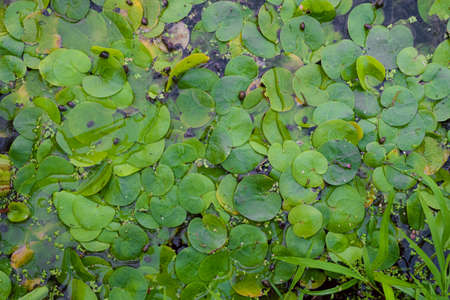 Lush green foliage of wild Lotus on the water surface. Surface of the swampy wild pond.