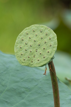 fitting in: a group of lotus seed fitting in its place and some kind of them is eatable