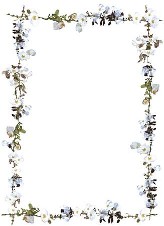Witte hemel bloem en wijnstokken grens geïsoleerd op witte achtergrond Stockfoto