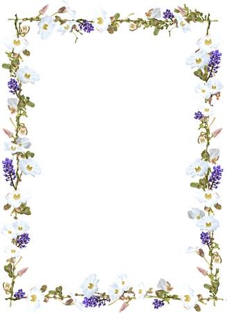 bordure vigne: Le gingembre pourpre et blanc fronti�re vigne ciel fleur isol�e sur fond blanc