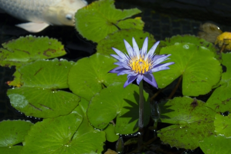 Purple water lily with koi fish photo
