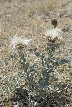 solidity: canadian thistle Stock Photo