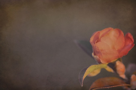 Soft Rose Background with Copy Space photo