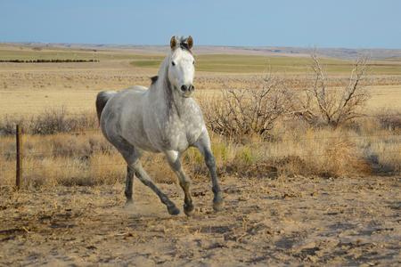 Dapple Gray Horse Running in a Field