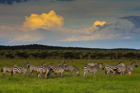 Zebra herd at sunset in Singita Grumeti Reserves, Tanzania.