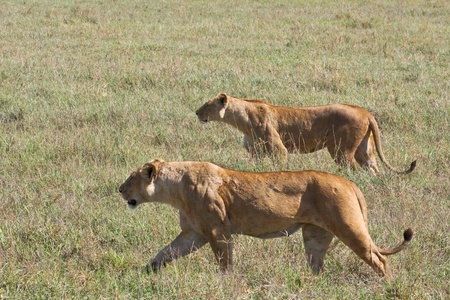 felid: Lionesses on the prowl in Ngorongoro Crater, Tanzania.