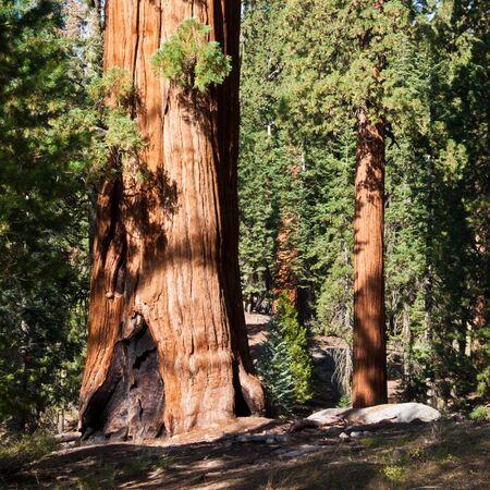 sequoia: Redwood forest in Sequoia National Park, California. Stock Photo