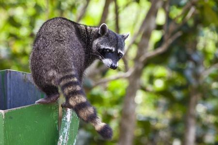 Racoon climbing a grabage bin in Manuel Antonio National Park, Costa Rica.