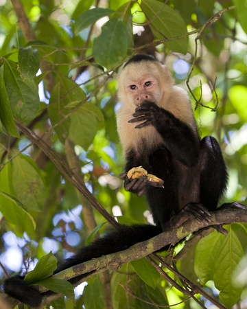 White-throated capuchin monkey in Manuel Antonio National Park, Costa Rica.