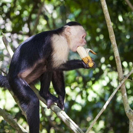 White-faced monkey biting on a banana in Manuel Antonio National Park, Costa Rica.