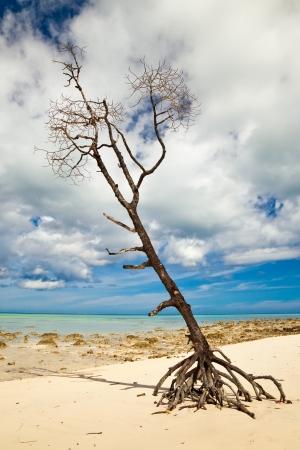 Lone tree at Vijaynagar Beach on Havelock Island, Andman Islands, India.
