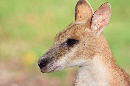 Wallaby Portrait photo