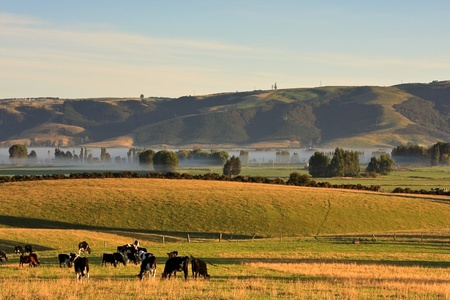 Cows grazing on a foggy early morning in Canterbury, New Zealand South Island.