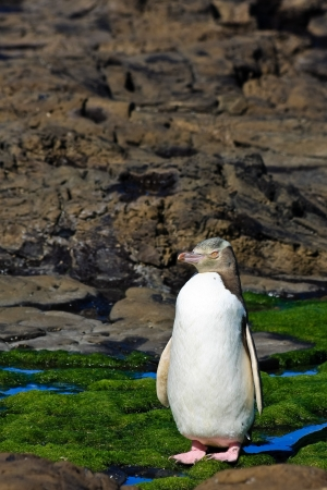 yellow eyed penguin: Yellow-eyed penguin posing on a rocky shore in New Zealand.