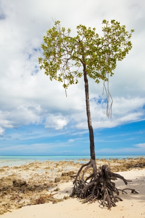 Lone mangrove tree at Vijaynagar Beach on Havelock Island, Andman Islands, India