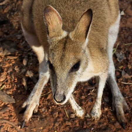 tame: Tame wallaby en el Parque Nacional de Kakadu, Australia Foto de archivo