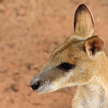 kakadu: Wallaby in Kakadu National Park, Australia  Stock Photo
