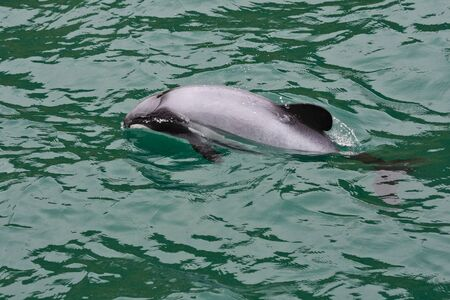 Hectors dolphin in New Zealand waters.