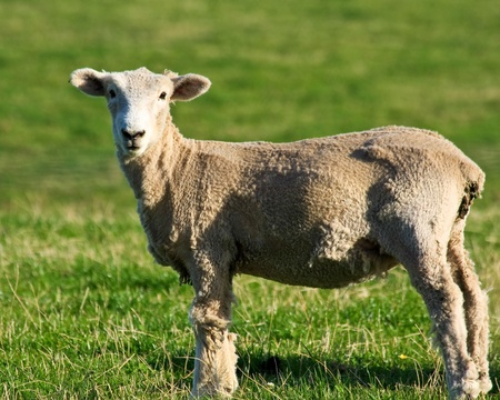 Shorn sheep on a field in the Canterbury area, New Zealand South Island. Stock Photo