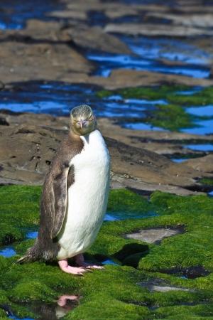 yellow eyed penguin: Yellow Eyed Penguin