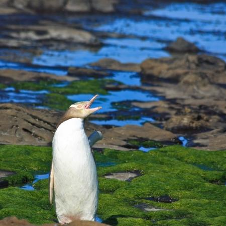 yellow eyed penguin: Yellow Eyed Penguin Stretching Stock Photo