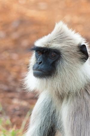 gray langur: Hanuman langur in Bandipur National Park, India