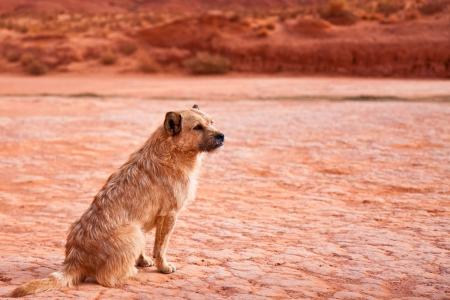 stray dog: Stray dog in Monument Valley Tribal Park, Arizona.