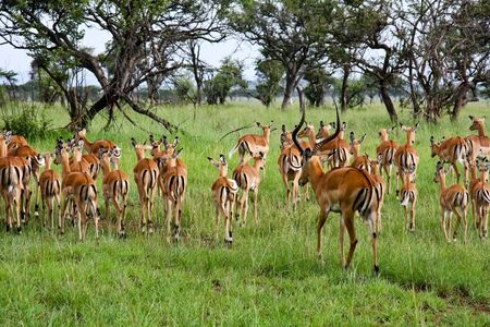 Impala ram herding his harem away in Singita Grumeti Reserves, Tanzania. Stock Photo
