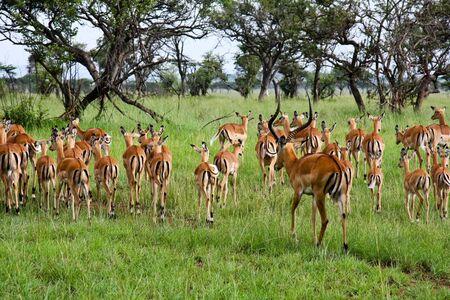 black buck: Impala ram herding his harem away in Singita Grumeti Reserves, Tanzania. Stock Photo