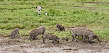 conservation grazing: Warthogs grazing in Ngorongoro Conservation Area, Tanzania.
