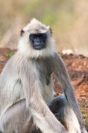 semnopithecus: Common langur relaxing in Bandipur National Park, India.