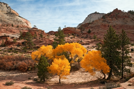 Sunlit grove of decidious trees in fall color at Zion Canyon National Park, Utah.