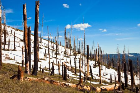 coniferous forest: Burned trees at Smith Peak in Yosemite National Park, California.