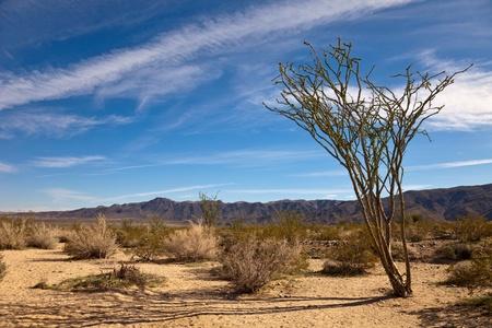 national plant: Desert landscape with ocotillo plant in Joshua Tree National Park, California. Stock Photo