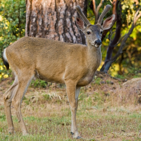 black tail deer: Black tailed deer stag posing on a lawn in California.