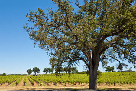 Black oak tree and vineyard in Shenandoah Valley, California. photo