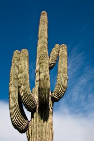 Saguaro cactus agaist a cloudy sky in Joshua Tree National Park, California. Stock Photo - 14806972
