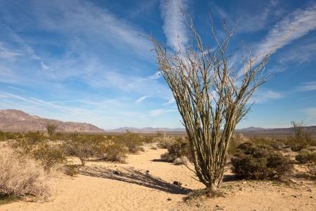 southwest: Ocotillo in the Sonora Desert part of Joshua Tree National Park, California.